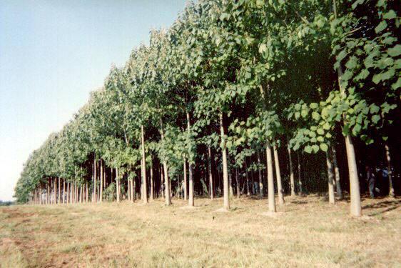 arborele kiri