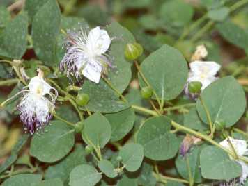 florile arbustului copparis spinosa