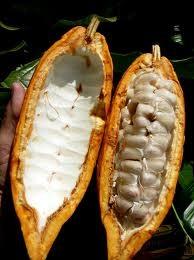 fructul arboruli de cacao