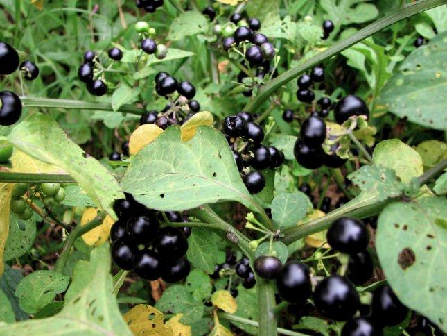 solanum nigrum guineense