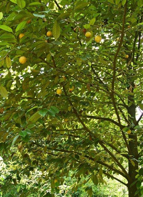arbore nucșoară