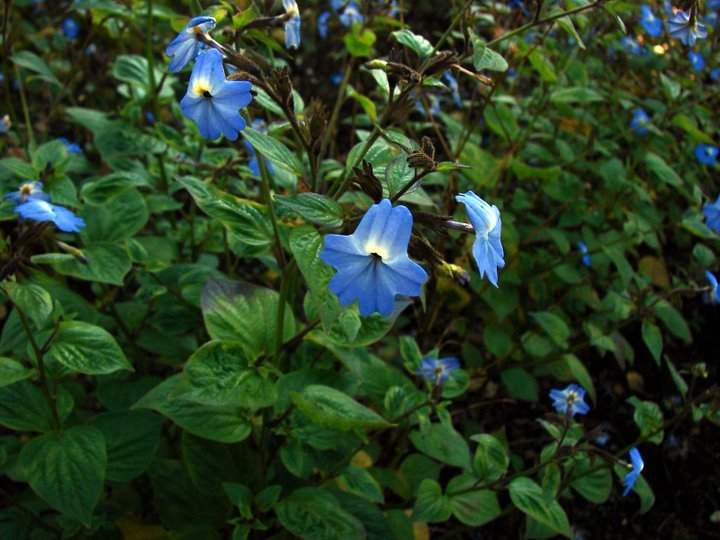 Bovalia floarea ametist