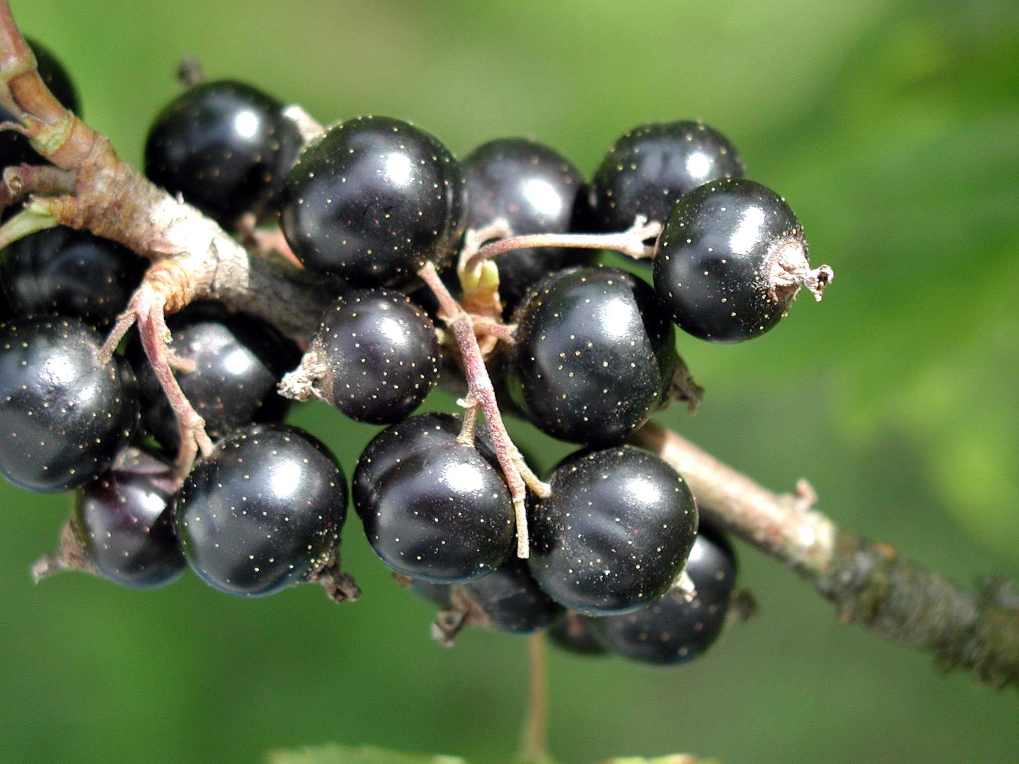 coacăz negru