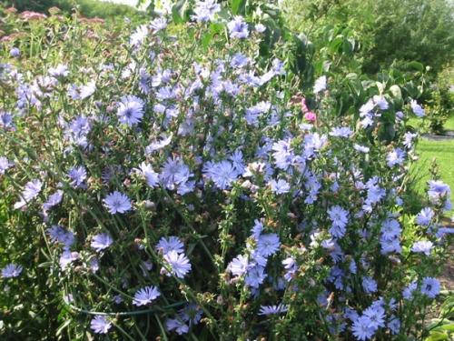 flori de cioare