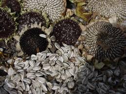 semințe de floare soarelui