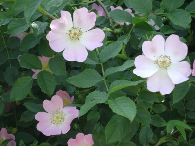 flori de măceșe