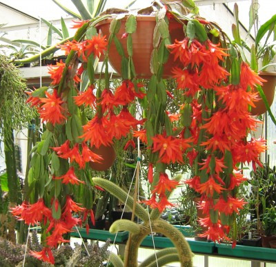 cactusul de paște