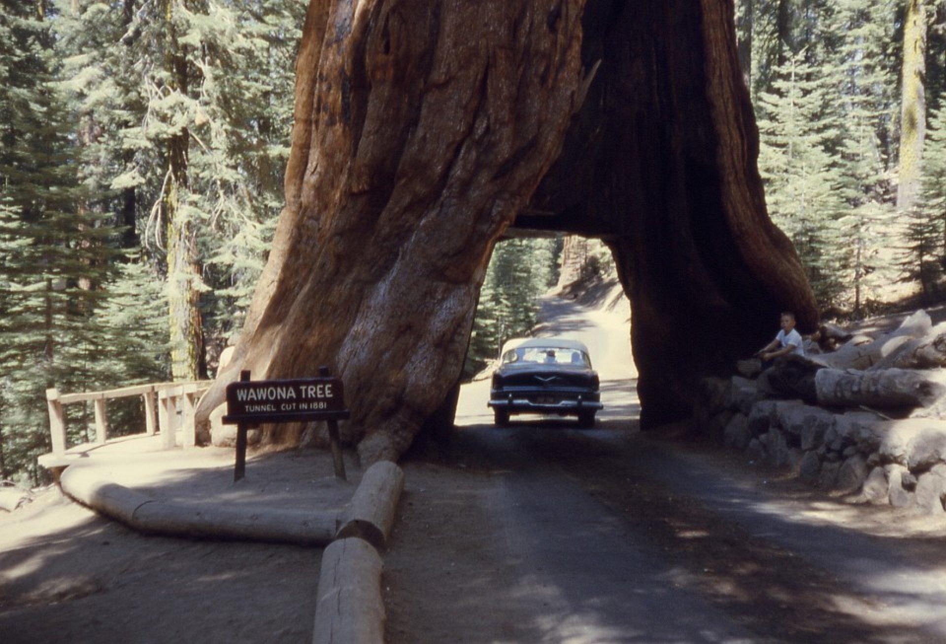 copacul burmis