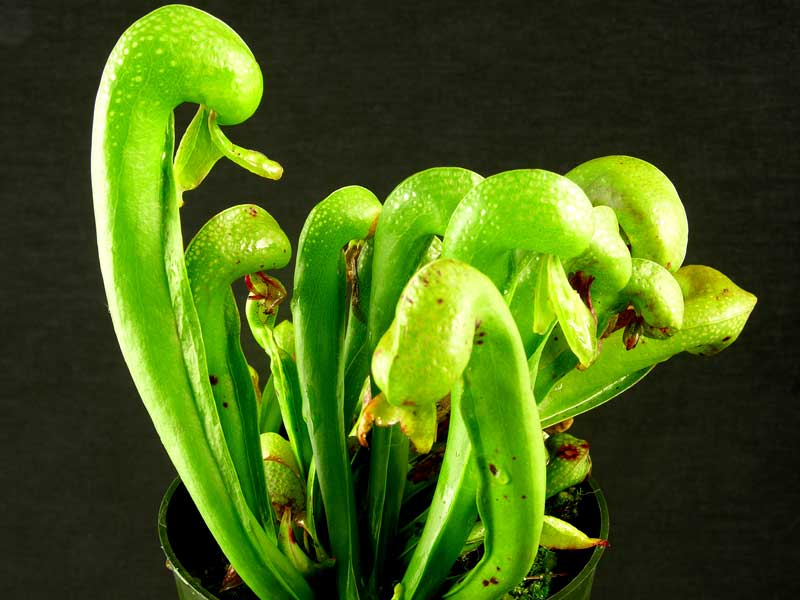 planta cobră