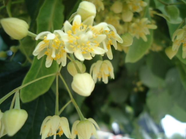 flori de tei pucios