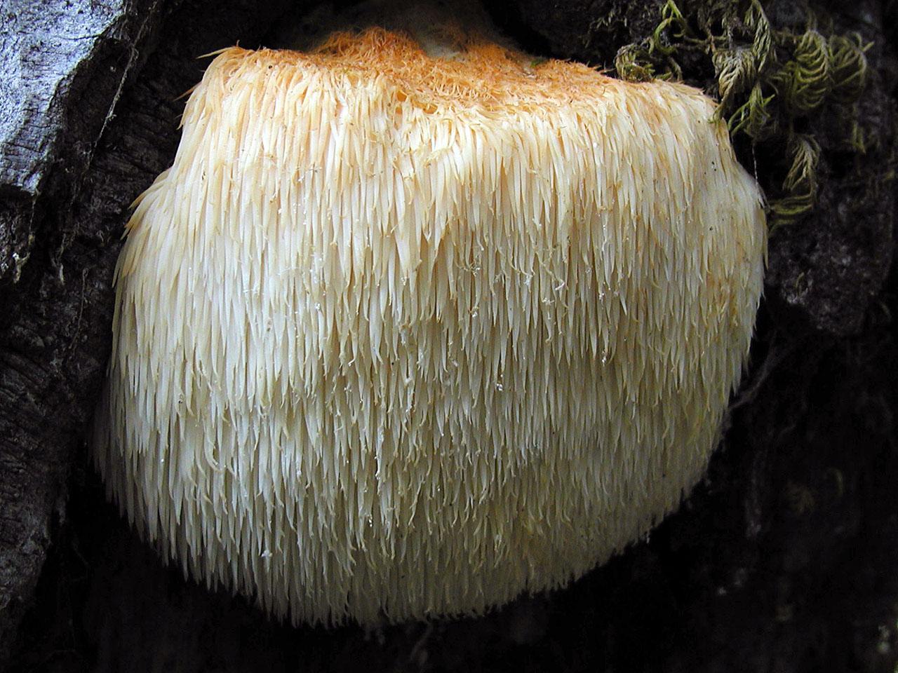 ciuperca hericium erinaceus