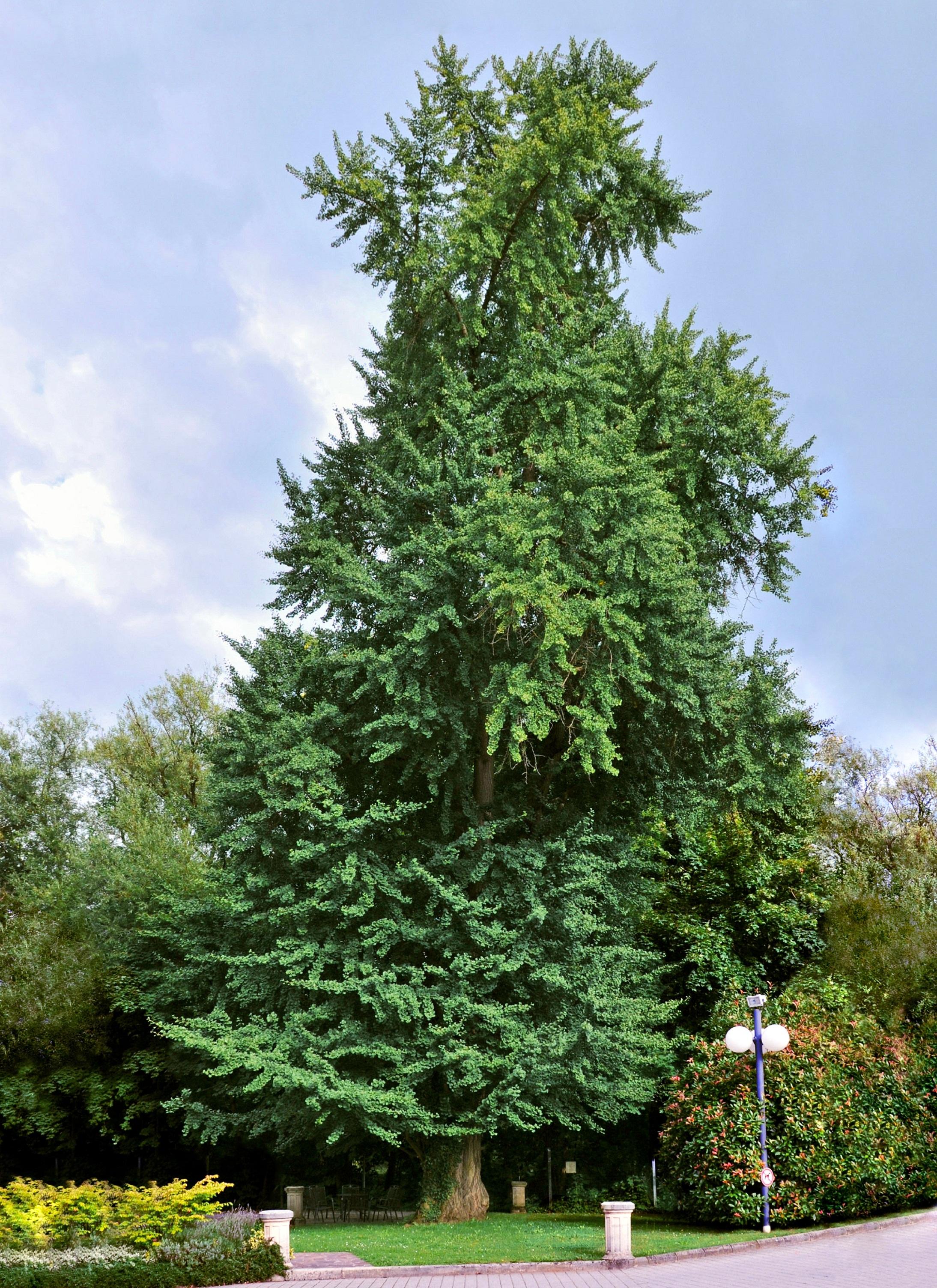 ginkgo biloba copac
