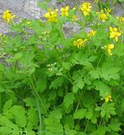 Rostopasca - sau iarba de negi