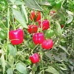 ardei gras plantă
