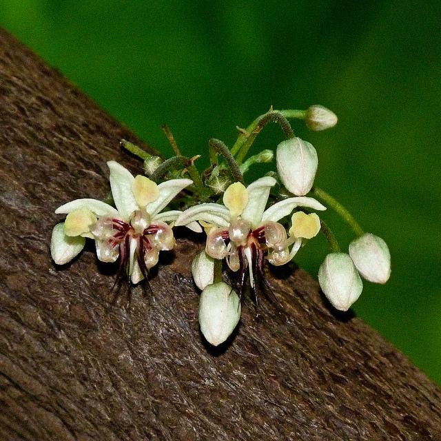 florile arborelui ce cacao
