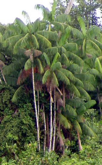 palmier acai