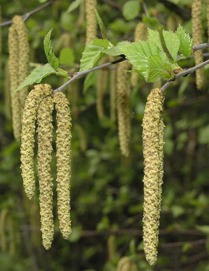 flori de mesteacăn