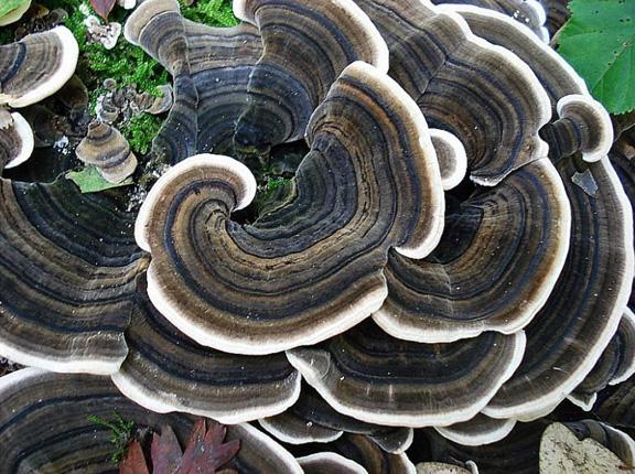 ciuperca kawaratake