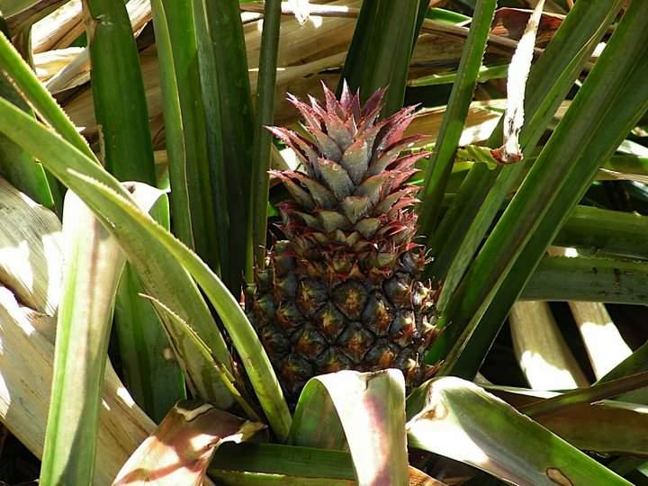 ananas plantă
