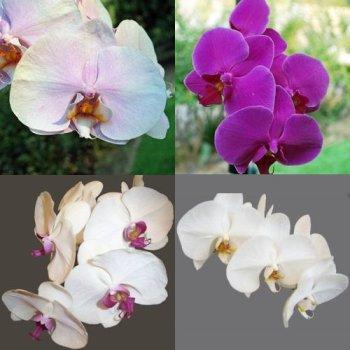 orhideea molie