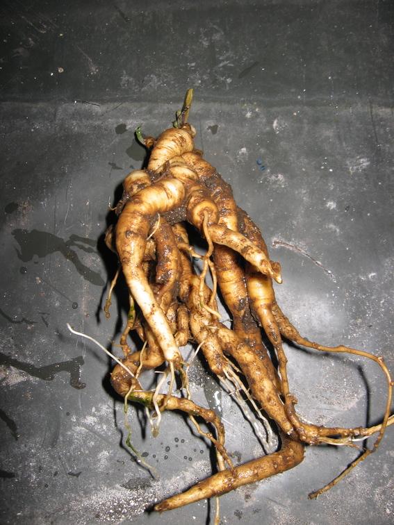 rădăcină mătrăgună