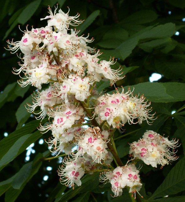 flori castan sălbatic