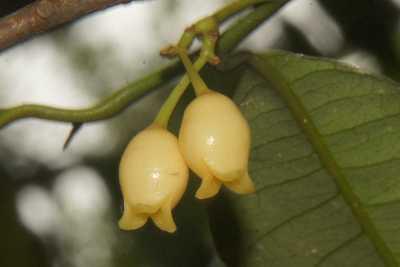 floare de nucșoară