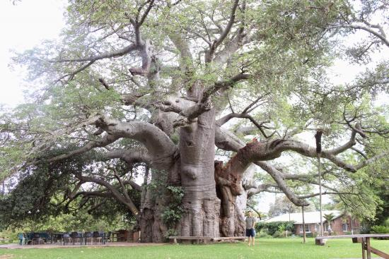 suniland baobab