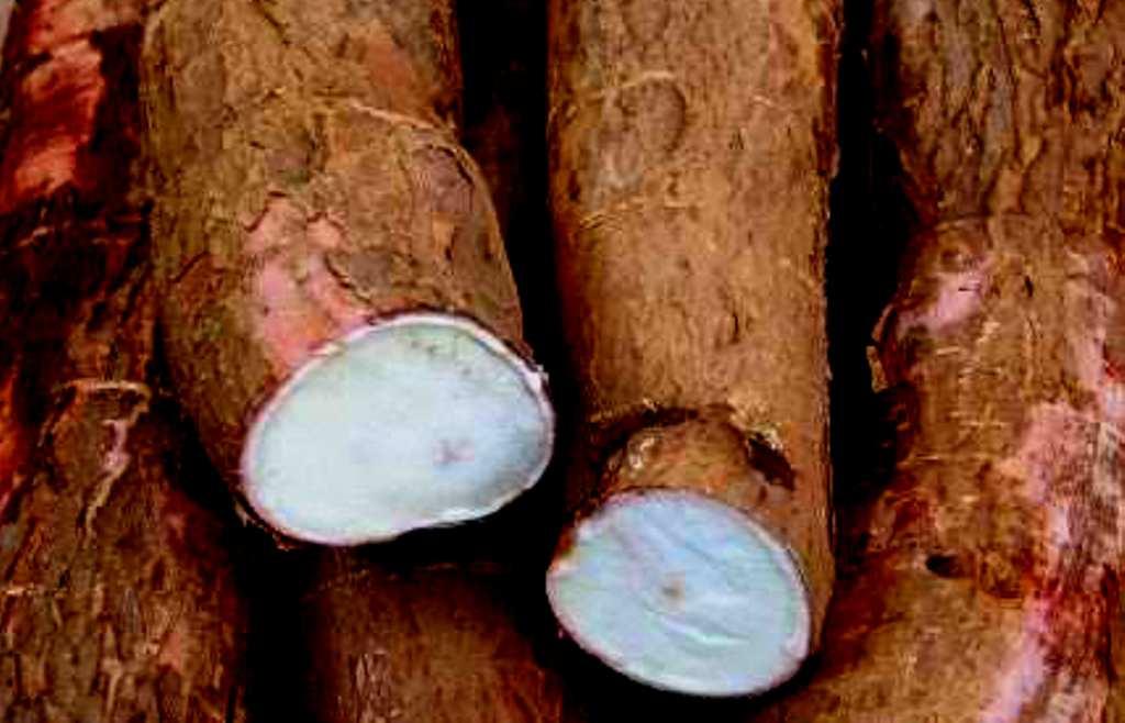 rădăcină de manioc