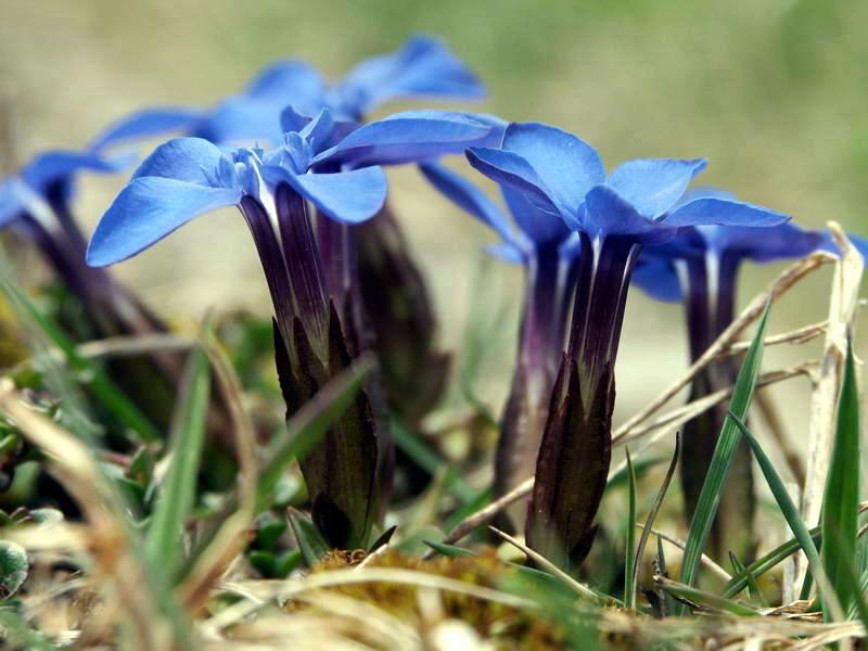 gențiana violet albastră