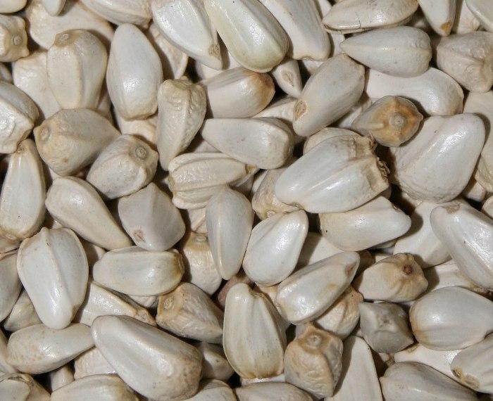 semințe de șofrănel