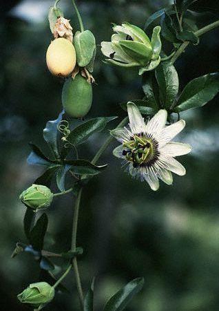 fructul pasinii