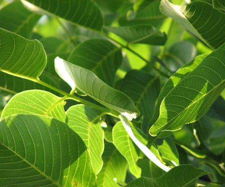frunze de nuc