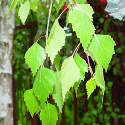 frunze de mesteacăn