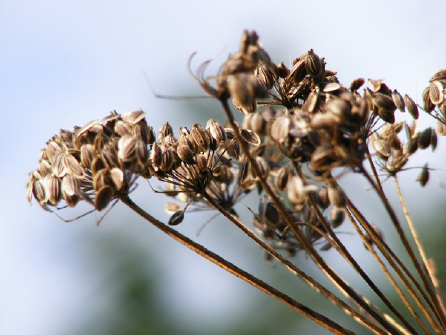 semințe de mărar