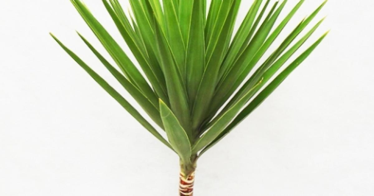 yucca o planta decorativa biaplant