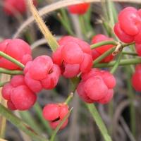 Carcelul, un arbust cu efecte bronhodilatatoare