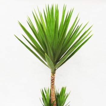 Yucca o planta decorativa biaplant for Yuca planta de exterior